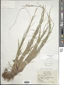 view Carex communis L.H. Bailey var. communis digital asset number 1