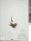 view Hymenophyllum crispum H.B.K. digital asset number 1