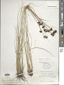view Rhynchospora cephalantha f. antrorsa Gale digital asset number 1