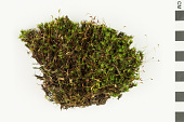 view Ohio Polytrichum Moss, Ohio Haircap Moss digital asset number 1