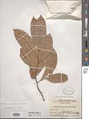 view Artabotrys uncinatus (Lam.) Merr. digital asset number 1