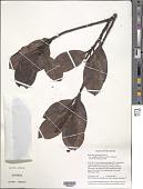 view Byrsonima chalcophylla var. carraoana (Steyerm.) W.R. Anderson digital asset number 1