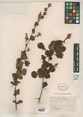 view Berberis kansuensis C.K. Schneid. digital asset number 1