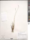 view Nietneria paniculata Steyerm. digital asset number 1