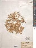 view Ceratocarpus arenarius L. digital asset number 1