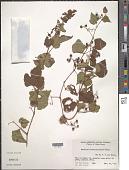 view Ampelopsis brevipedunculata (Maxim.) Trautv. digital asset number 1