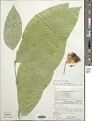 view Inga lindeniana Benth. digital asset number 1