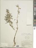 view Lupinus argenteus var. myrianthus (Greene) Isley digital asset number 1