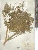 view Conium maculatum L. digital asset number 1