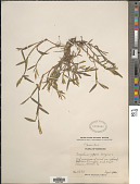 view Paspalum dissectum (L.) L. digital asset number 1