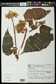 view Begonia schenckii digital asset number 1