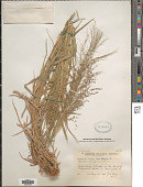 view Panicum coloratum L. digital asset number 1