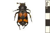 view Burying Beetle digital asset number 1