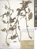 view Verbena officinalis L. digital asset number 1