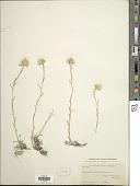 view Antennaria microphylla Rydb. digital asset number 1