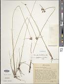 view Cyperus sellowianus (Kunth) T. Koyama digital asset number 1