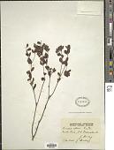 view Pimelea altior F. Muell. digital asset number 1