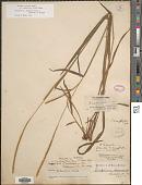 view Paspalum setaceum var. muhlenbergii (Nash) D.J. Banks digital asset number 1