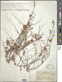 view Pteropyrum olivieri Jaub. & Spach digital asset number 1