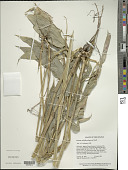 view Pariana radiciflora Sagot ex Döll in Mart. digital asset number 1