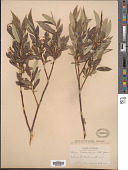 view Salix lasiandra Benth. digital asset number 1