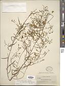 view Bonamia patens var. angustifolia (Nash) Shinners digital asset number 1