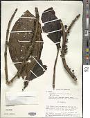view Henriettella sessilifolia Triana digital asset number 1