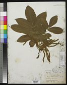 view Carya tomentosa (Poir.) Nutt. digital asset number 1