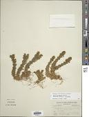 view Huperzia lucidula (Michx.) Trevis. x H. porophila (F.E. Lloyd & Underw.) Holub digital asset number 1