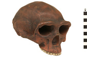 view Zhoukoudian, Early Human, Fossil Hominid digital asset number 1