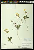 view Chylismia munzii (P.H. Raven) W.L. Wagner & Hoch digital asset number 1
