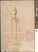view Calamagrostis canescens (Weber) Roth digital asset number 1