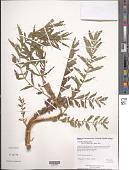 view Agrimonia parviflora Aiton digital asset number 1
