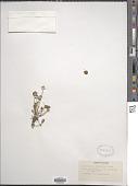 view Halerpestes cymbalaria (Pursh) Greene digital asset number 1