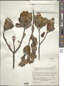 view Tepuianthus auyantepuiensis Maguire & Steyerm. digital asset number 1