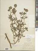 view Trifolium obtusiflorum Hook. digital asset number 1