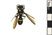 view Weevil Wasp digital asset number 1
