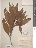 view Actinodaphne longifolia digital asset number 1