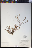 view Quinchamalium procumbens Ruiz & Pav. digital asset number 1