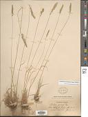 view Koeleria pyramidata (Lam.) P. Beauv. digital asset number 1