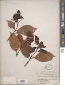 view Cinnamomum glanduliferum (Wall.) Meisn. digital asset number 1