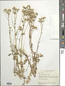 view Packera millelobata (Rydb.) W.A. Weber & Á. Löve digital asset number 1