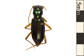 view Virginia Big-headed Tiger Beetle digital asset number 1