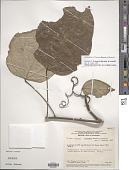 view Curarea tecunarum Barneby & Krukoff digital asset number 1