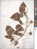 view Dioscorea lanosa Gleason digital asset number 1