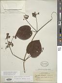 view Stigmaphyllon florosum C.E. Anderson digital asset number 1