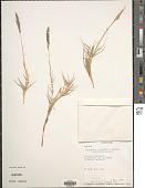 view Sporobolus virginicus (L.) Kunth digital asset number 1