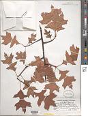 view Quercus palustris Münchh. digital asset number 1