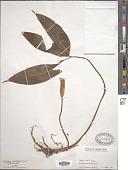 view Arisaema petiolulatum Hook. f. digital asset number 1