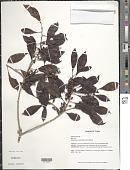 view Sideroxylon salicifolium (L.) Lam. digital asset number 1